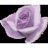 Pink Rose Flower - Ilustrationen -