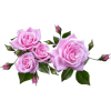 pink roses - Items -