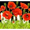 poppies - Biljke -