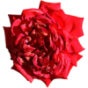 red rose - Moje fotografie -