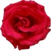 red rose - Plants -