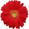 red daisy - Items -