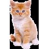 red haired blue eyed kitten - Animals -
