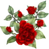 red roes - Plants -