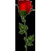 red rose - Plantas -