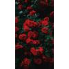 roses - Background -