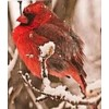 snow bird - Animals -