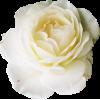 spring, flowers, flower, rose,  - Biljke -