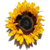 stemless sunflower  - Biljke -