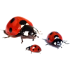 Ladybird - Animals -
