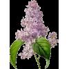 jorgovan - Plants -