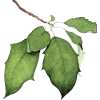 list leaf - Plants -