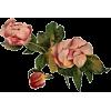 roses - Piante -