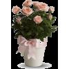 cvijeće ruže rose - 植物 -