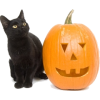cat and pumpkin - Animals -