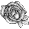rose flower - Plants -