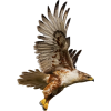 Eagle - Animals -