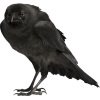 Crow - Animals -