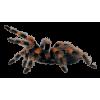 Tarantula Spider - Animals -
