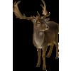 Deer - Animali -