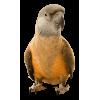 Parrot - 动物 -