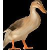 Duck - Animals -