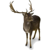 Sob / Reindeer - Animals -