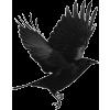 ptica gavran - Animals -