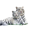 Two white Tigers - Animals -