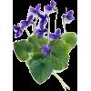 violet - Biljke -