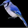 Blue Jay - Illustrations -