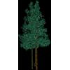Blue Spruce - Plants -