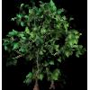 Bushy Ficus - Plants -