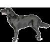 Flat-Coated Retriever - Animals -