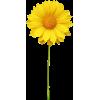 Gerber Daisy - Illustrations -