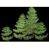 Lace Fern - Plants -