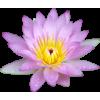 Lavender Water Lily - Illustrazioni -