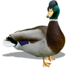 Male Mallard Duck - Animals -