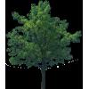 Medium Oak Tree - Plants -