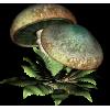 Mushroom Gljiva - Vegetables -