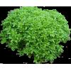 Oregano Plant - Plants -