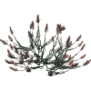 Red Spruce Accent - Plants -