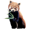 Red panda - Illustrations -