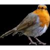 Robin - Illustrations -