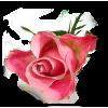 Rose - 植物 -