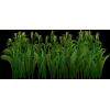 Row of Corn - Plants -