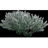 Sage Plant - Plants -