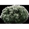 Snowy Pine Bush - Plants -