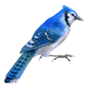 blue birds ptica - Animals -