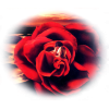 couple in rose - Ljudi (osobe) -